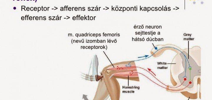 a-gerincvel-funkcionlis-anatmija-olkda-19-728