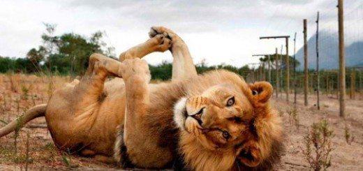 lion_2-86ad4a7a0edc3681412141c4534bdc1cabfea0b6